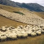 sheep migration