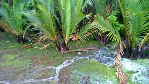 Atapchee - sea palm
