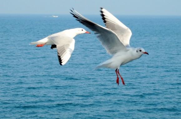 Seagulls in flight. Credits: Wee Khoon