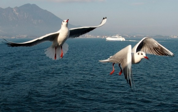 Seagulls pursuing the ferry.