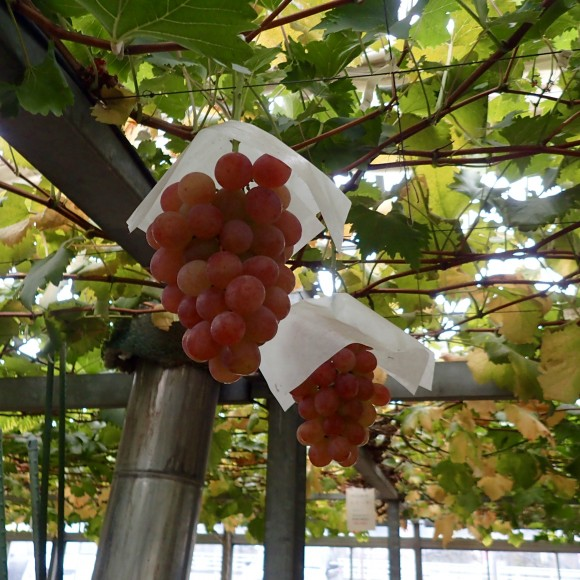 These luscious grapes in the greenhouse are to die for.